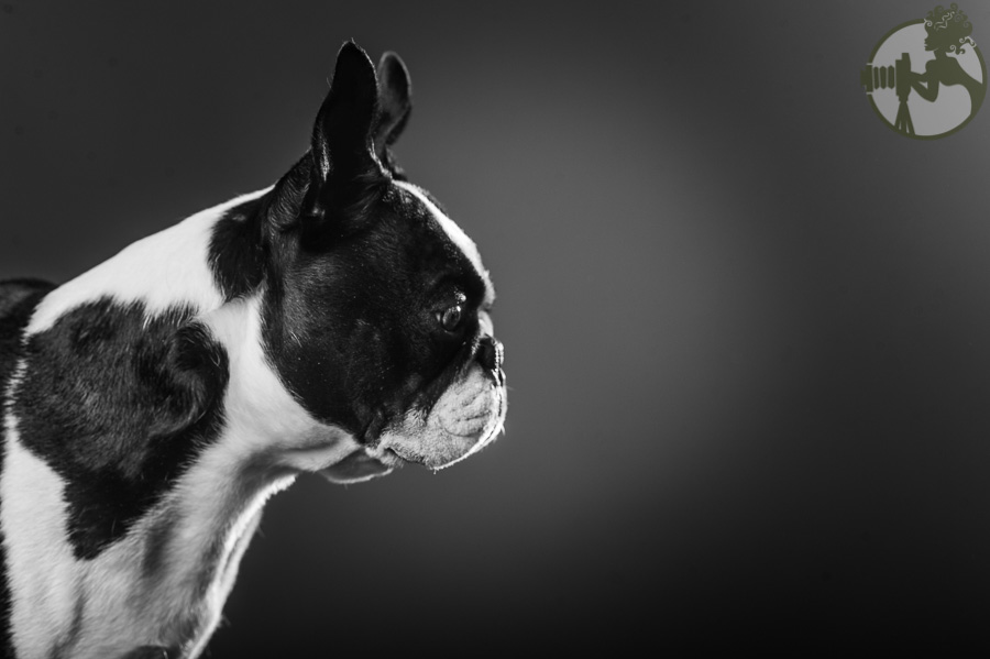 Boston-Terrier-Dog-Melissa-Laggis-1.jpg