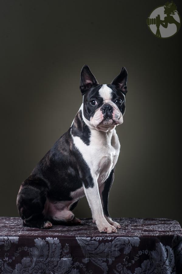 Boston-Terrier-Dog-Melissa-Laggis-2.jpg