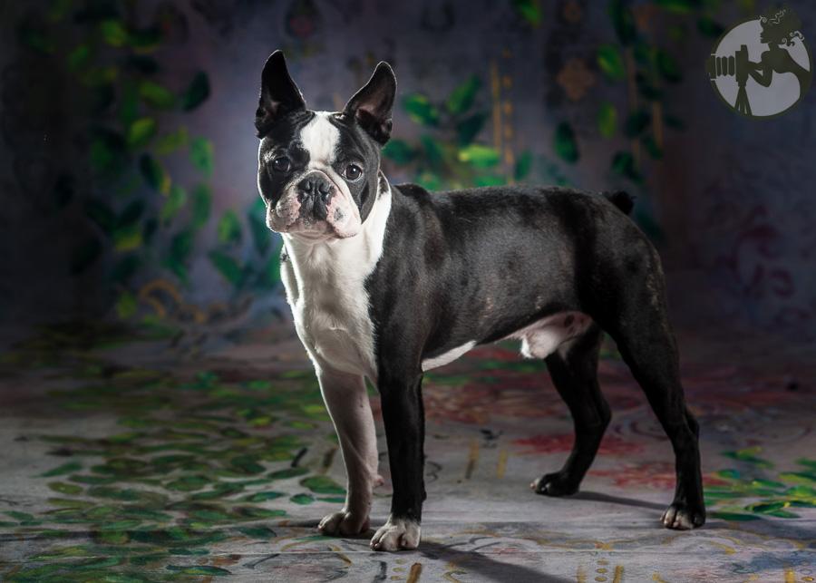 Boston-Terrier-Dog-Melissa-Laggis-3.jpg