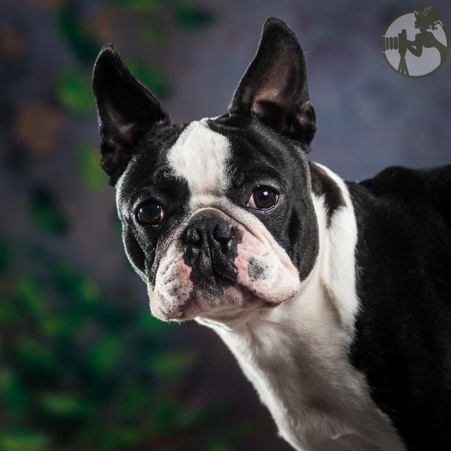 Boston-Terrier-Dog-Melissa-Laggis-4.jpg