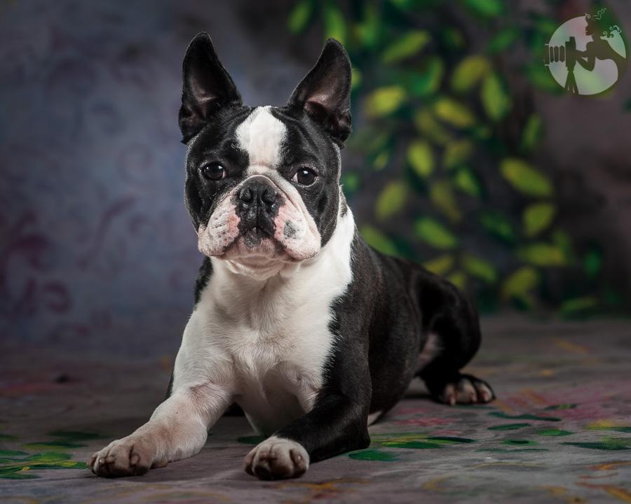 Boston-Terrier-Dog-Melissa-Laggis-5.jpg