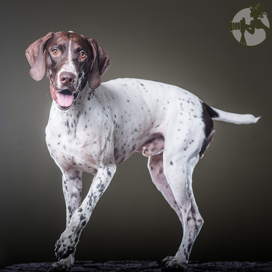 German-Shorthaired-Pointer-Dog-Melissa-Laggis-1.jpg