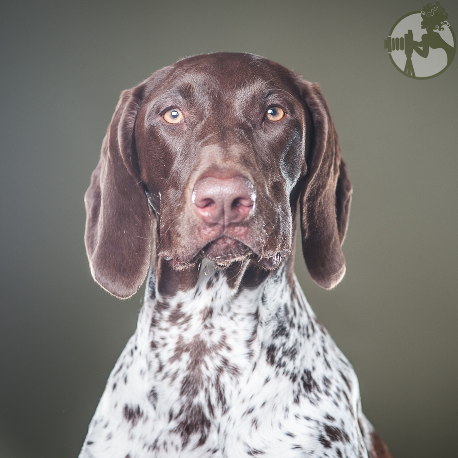German-Shorthaired-Pointer-Dog-Melissa-Laggis-3.jpg