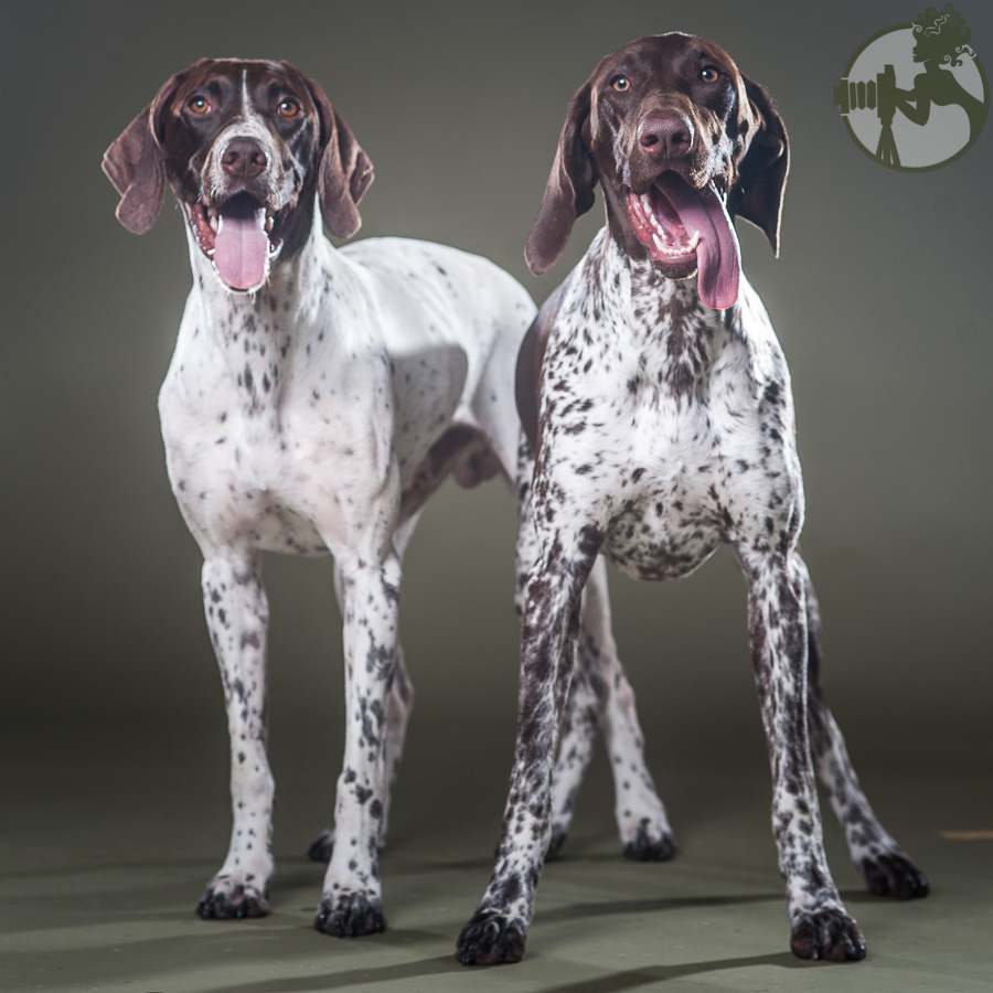 German-Shorthaired-Pointer-Dog-Melissa-Laggis-5.jpg
