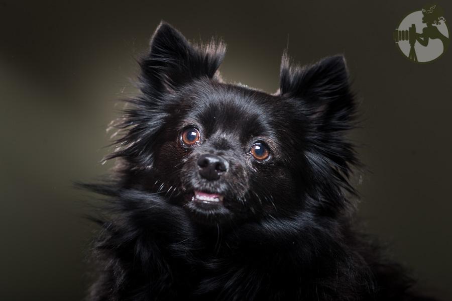 Yorkie-Pomeranian-Chihuahua-Dog-Melissa-Laggis-2.jpg