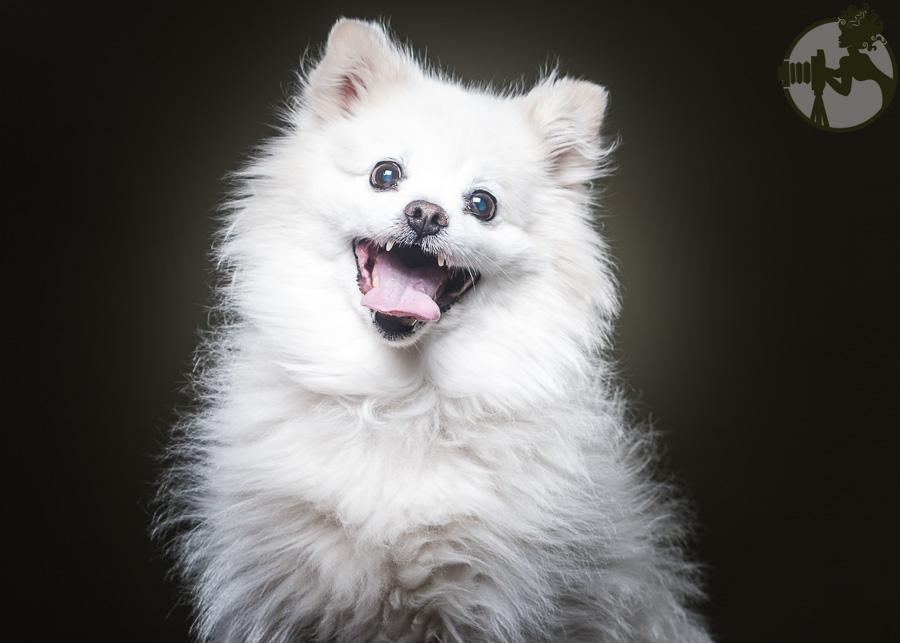 Yorkie-Pomeranian-Chihuahua-Dog-Melissa-Laggis-3.jpg