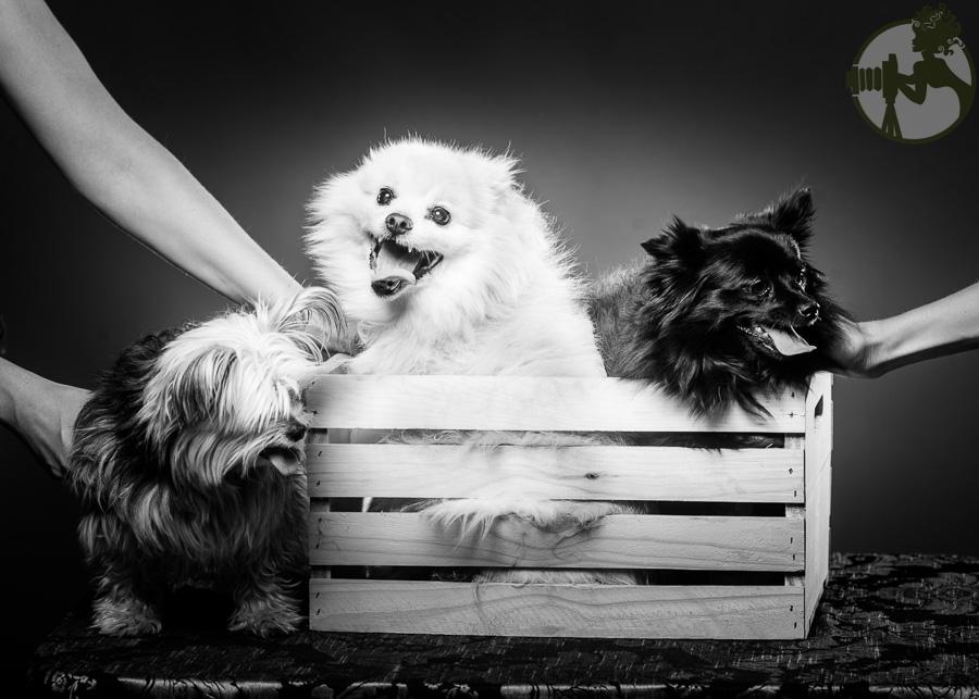 Yorkie-Pomeranian-Chihuahua-Dog-Melissa-Laggis-4.jpg