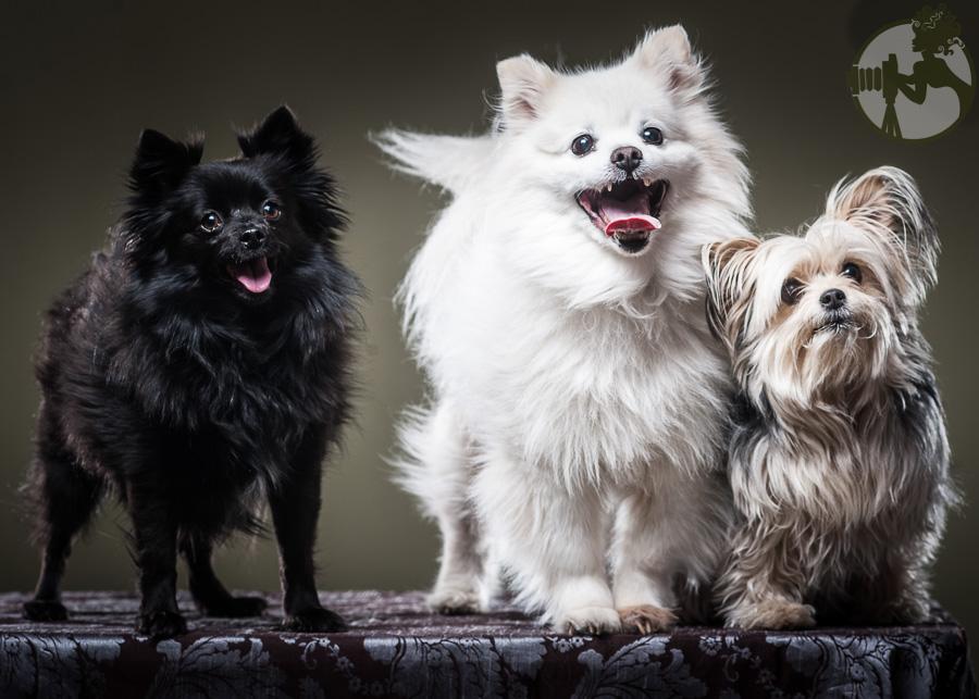 Yorkie-Pomeranian-Chihuahua-Dog-Melissa-Laggis-5.jpg