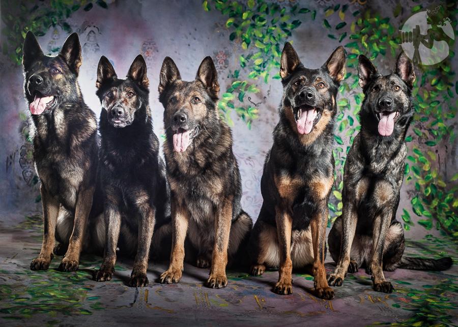German-Shepherd-Dog-Pack-Melissa-Laggis-1.jpg