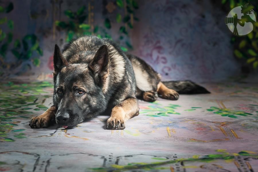 German-Shepherd-Dog-Pack-Melissa-Laggis-4.jpg