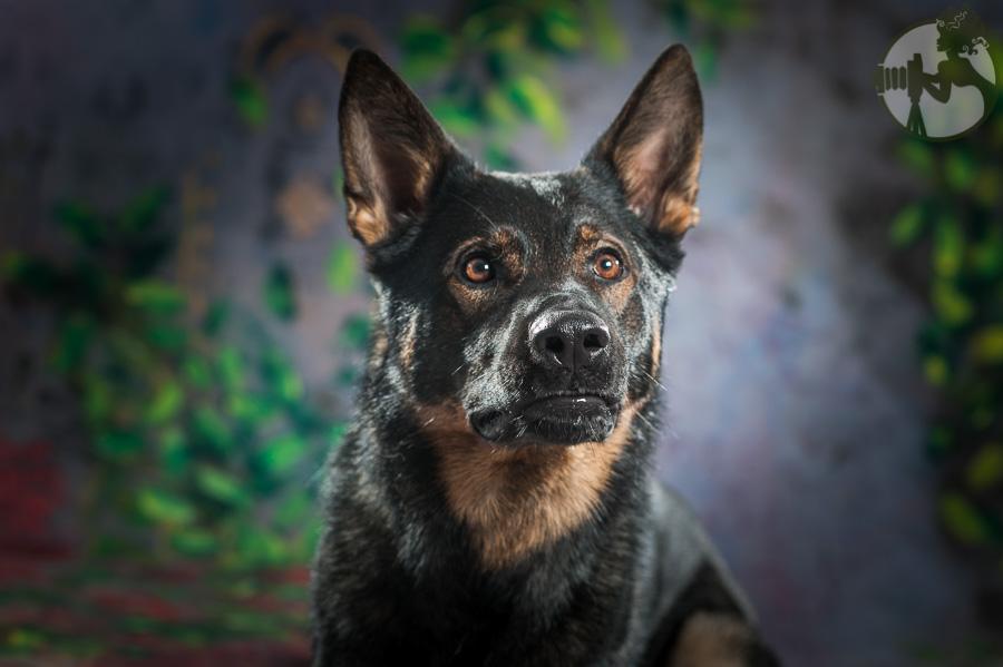 German-Shepherd-Dog-Pack-Melissa-Laggis-6.jpg