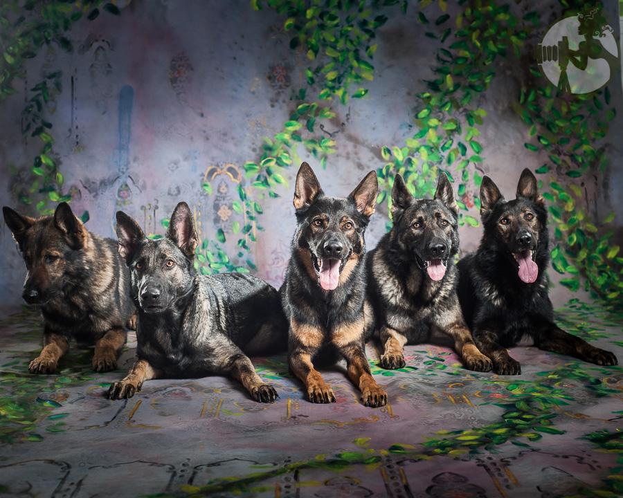 German-Shepherd-Dog-Pack-Melissa-Laggis-5.jpg