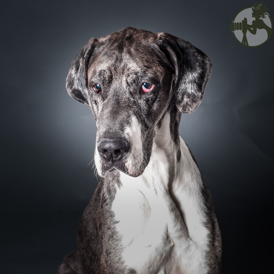 Merle-Great-Dane-Dog-Melissa-Laggis-2.jpg
