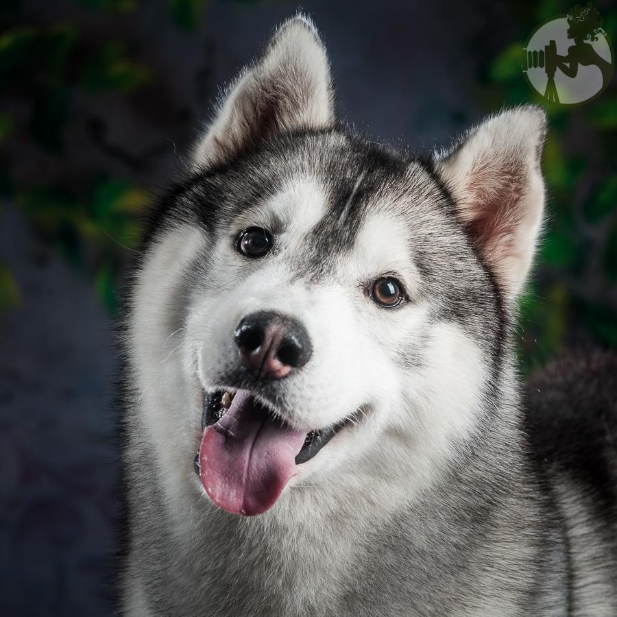Siberian-Husky-Dog-Melissa-Laggis-2.jpg