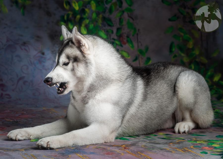 Siberian-Husky-Dog-Melissa-Laggis-3.jpg