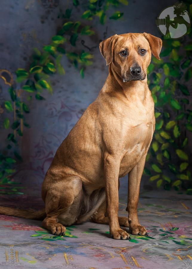 Rhodesian-Ridgeback-Dog-Melissa-Laggis-1.jpg