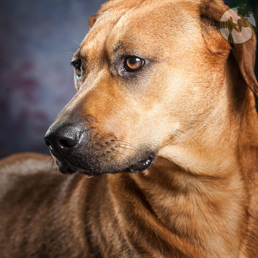 Rhodesian-Ridgeback-Dog-Melissa-Laggis-3.jpg