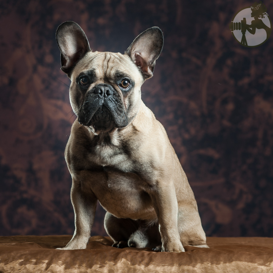 French-Bulldog-Dog-Melissa-Laggis-1.jpg
