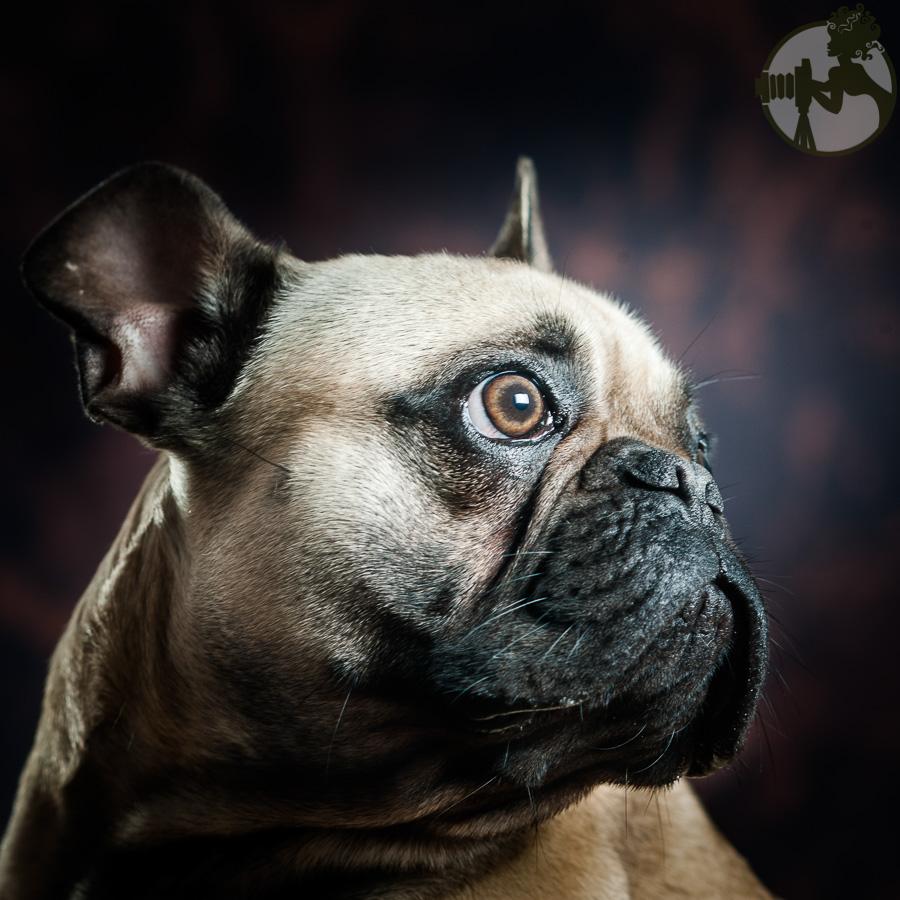 French-Bulldog-Dog-Melissa-Laggis-2.jpg