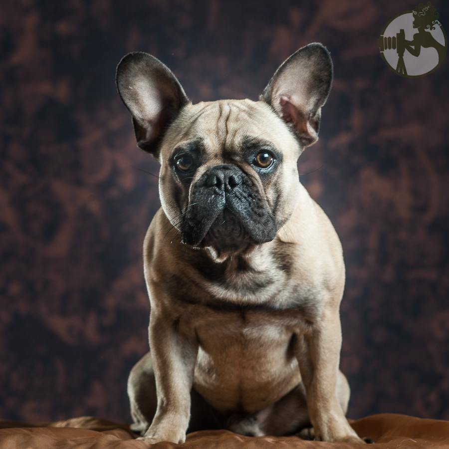 French-Bulldog-Dog-Melissa-Laggis-3.jpg