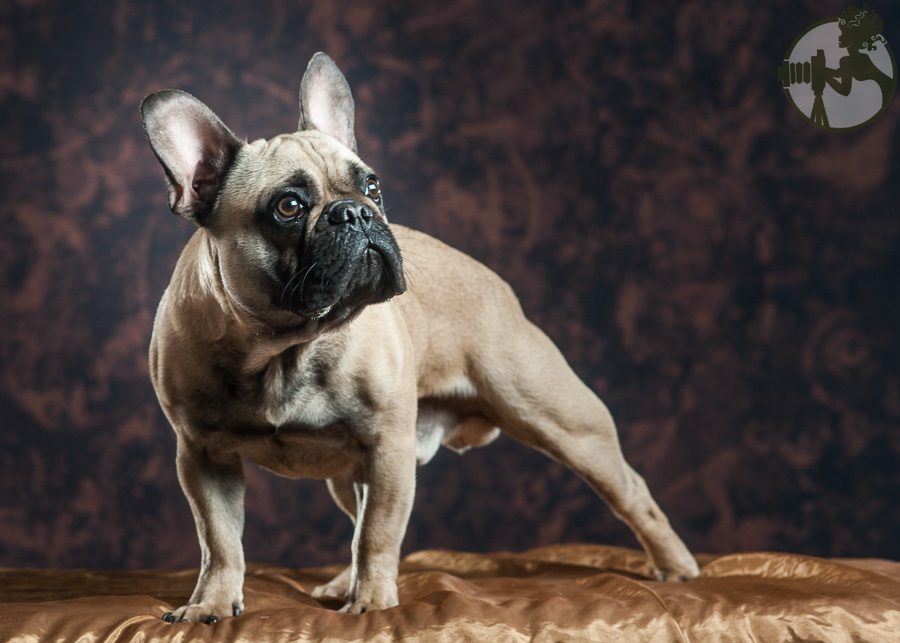French-Bulldog-Dog-Melissa-Laggis-4.jpg