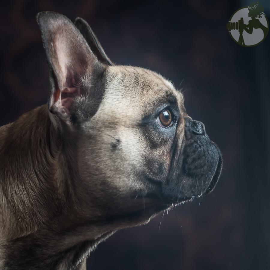 French-Bulldog-Dog-Melissa-Laggis-5.jpg