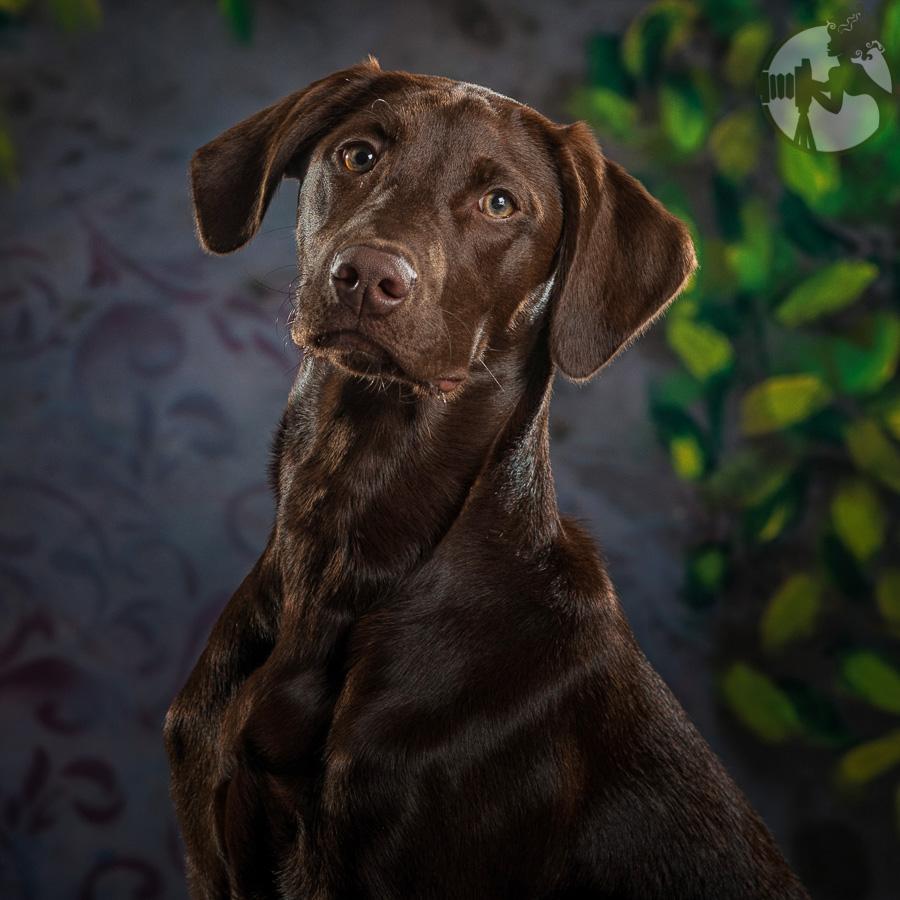 Labrador-Retriever-Dog-Melissa-Laggis-1.jpg