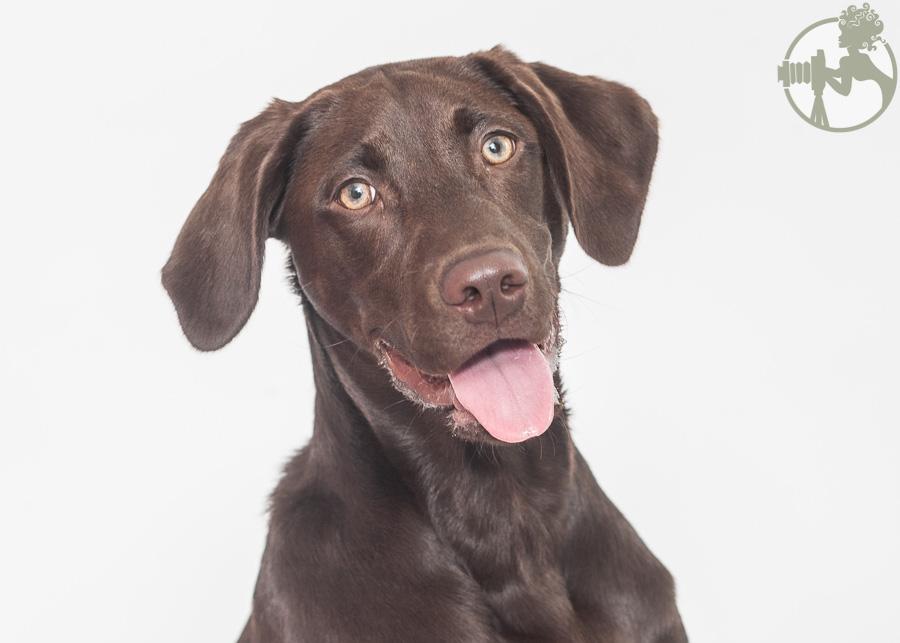 Labrador-Retriever-Dog-Melissa-Laggis-3.jpg