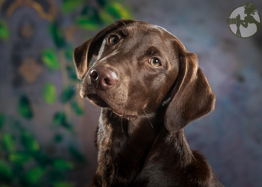 Labrador-Retriever-Dog-Melissa-Laggis-4.jpg