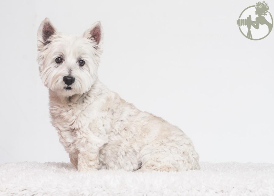 Westie-MinPin-Yorkie-Dog-Melissa-Laggis-1.jpg