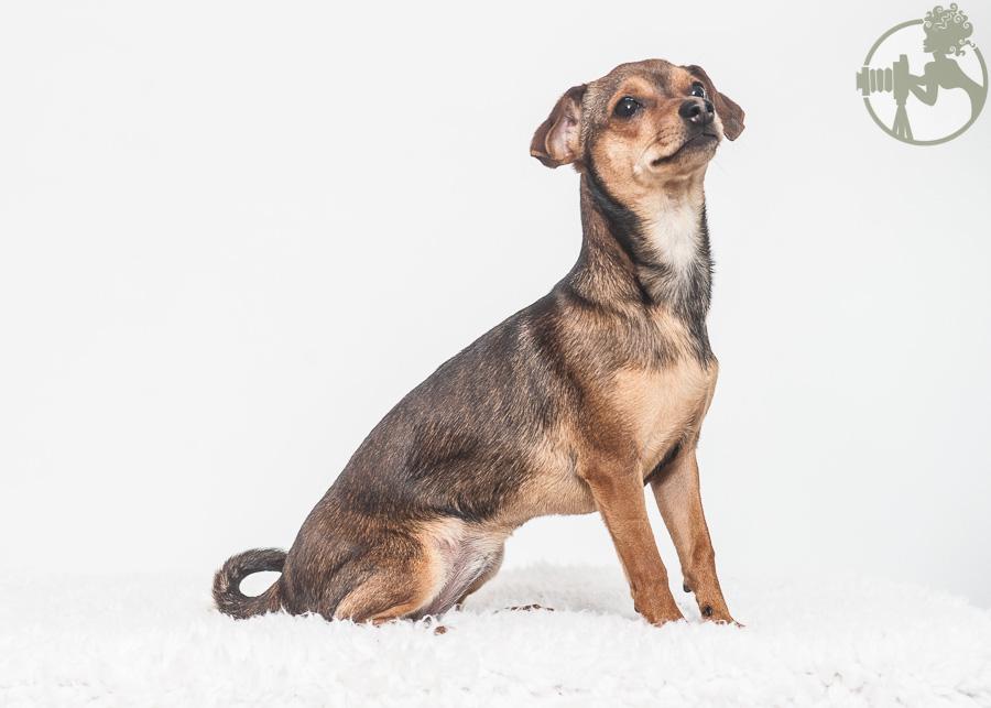 Westie-MinPin-Yorkie-Dog-Melissa-Laggis-2.jpg