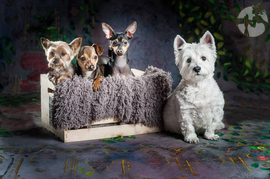 Westie-MinPin-Yorkie-Dog-Melissa-Laggis-5.jpg
