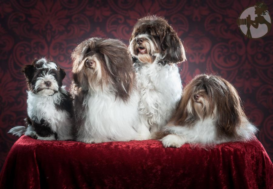 Fo-Havanese-Dog-Melissa-Laggis-3.jpg