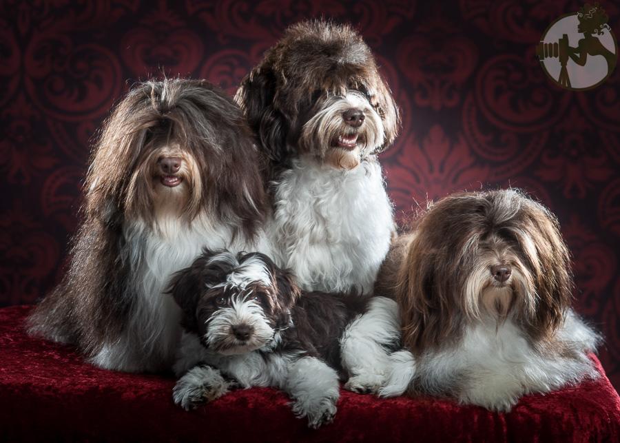 Fo-Havanese-Dog-Melissa-Laggis-5.jpg