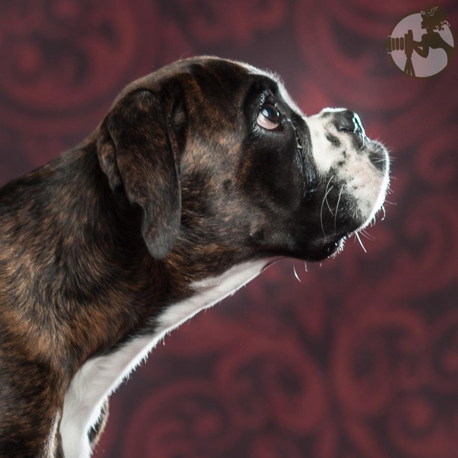 Boxer-Dog-Dog-Melissa-Laggis-1.jpg