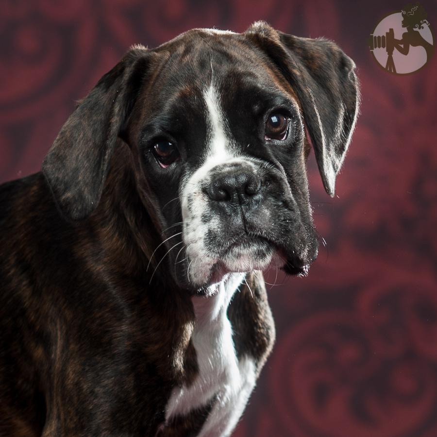 Boxer-Dog-Dog-Melissa-Laggis-2.jpg