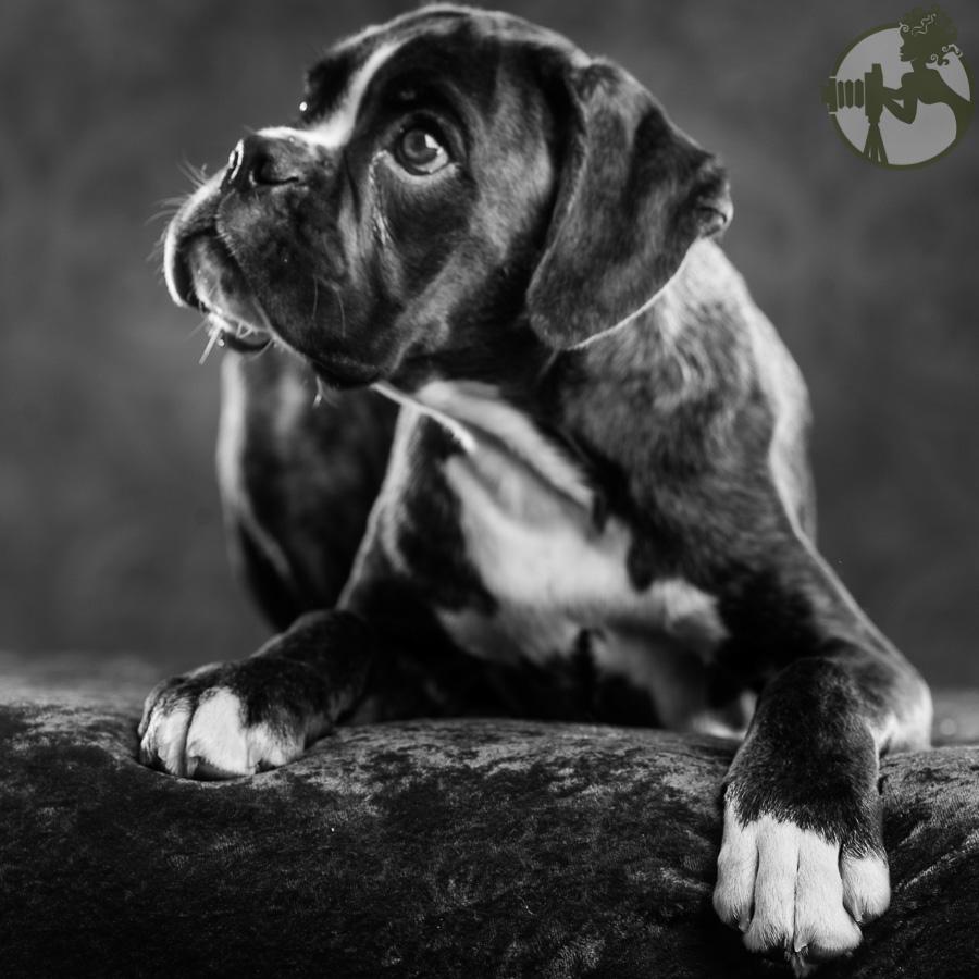 Boxer-Dog-Dog-Melissa-Laggis-3.jpg