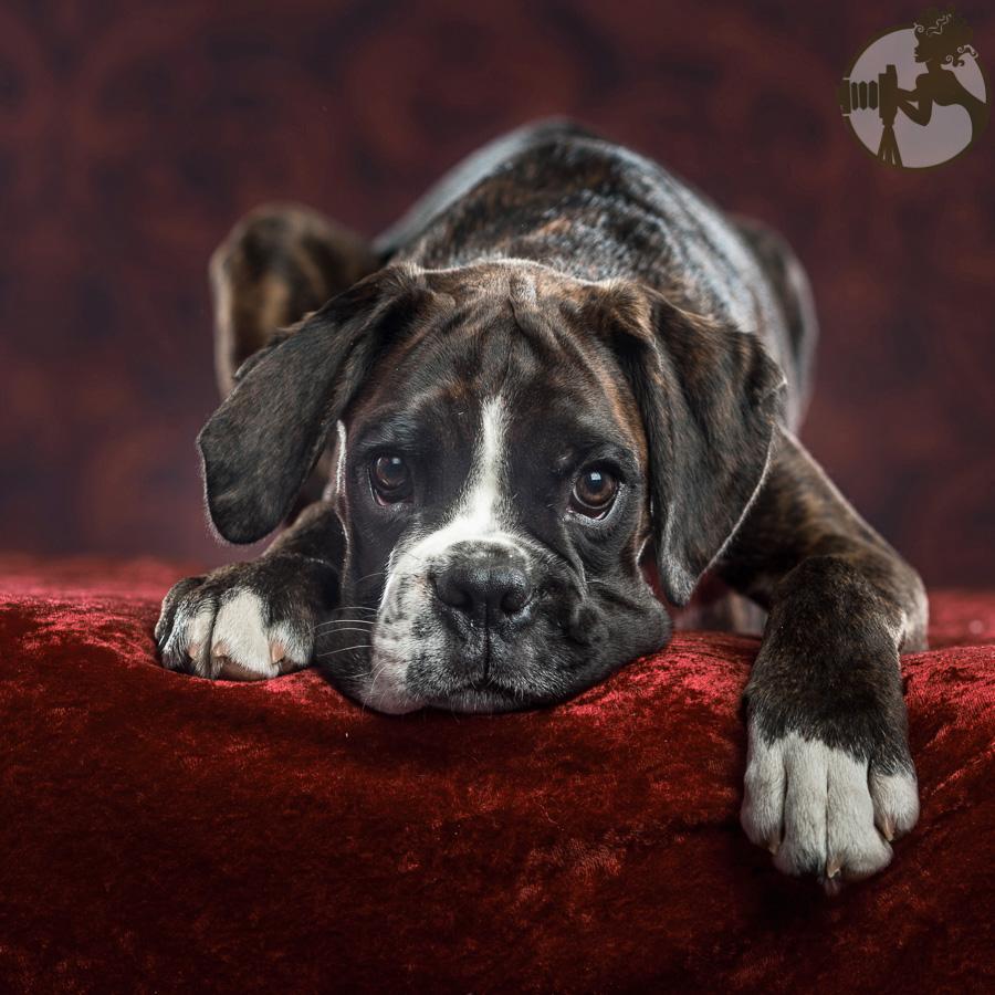 Boxer-Dog-Dog-Melissa-Laggis-4.jpg