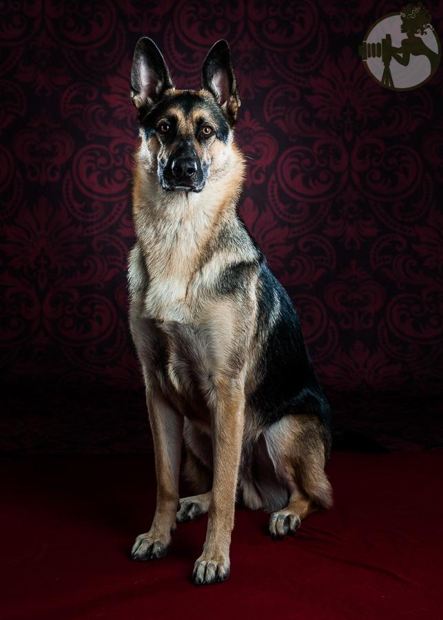 Du-German-Shepherd-Dog-Dog-Melissa-Laggis-1.jpg