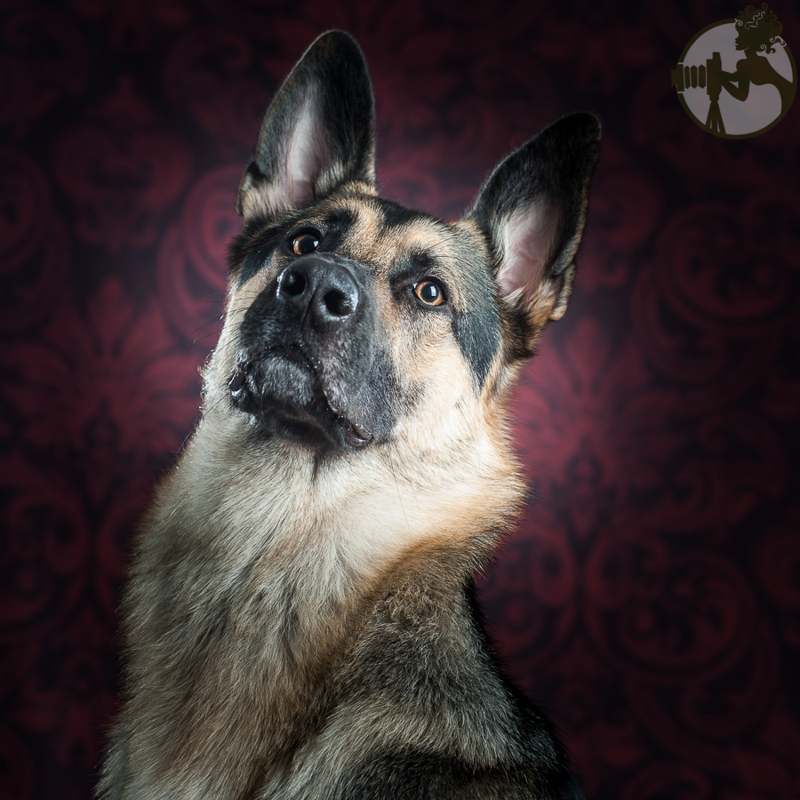 Du-German-Shepherd-Dog-Dog-Melissa-Laggis-2.jpg