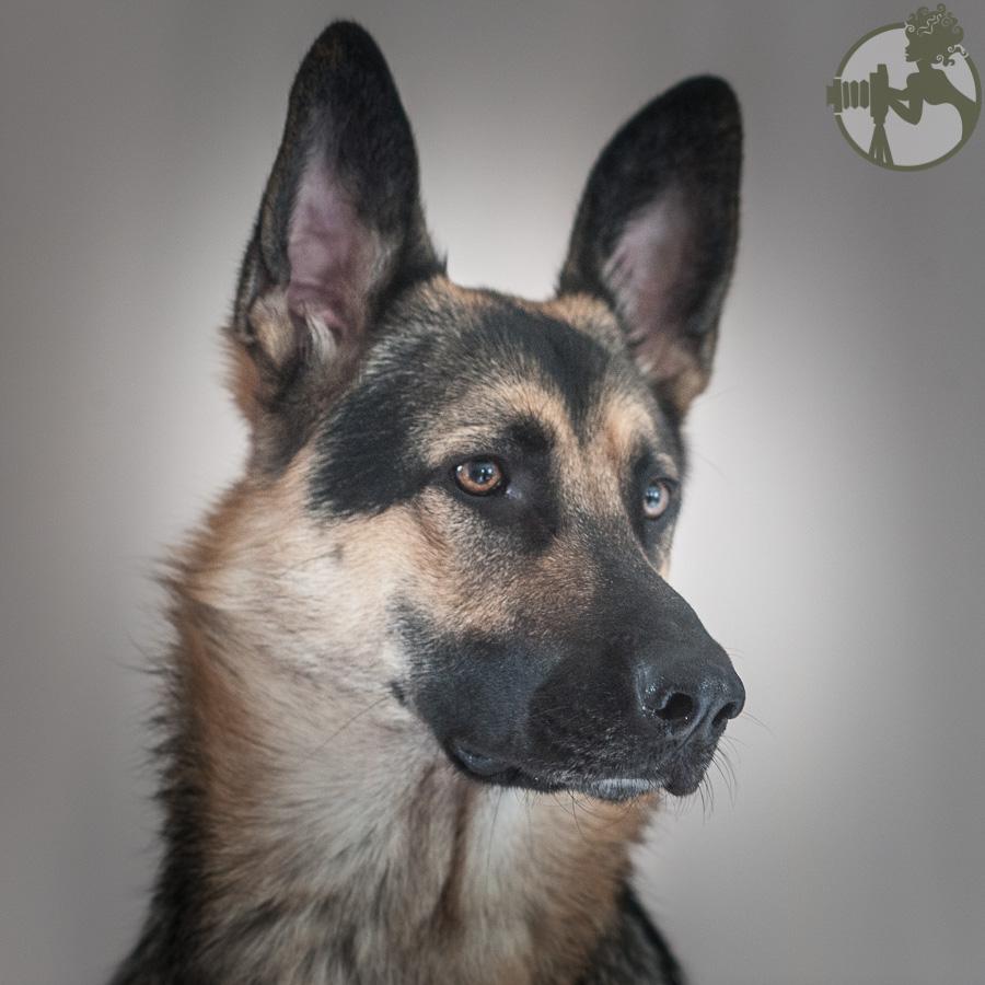 Du-German-Shepherd-Dog-Dog-Melissa-Laggis-3.jpg