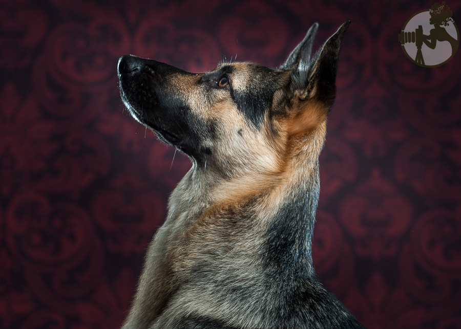 Du-German-Shepherd-Dog-Dog-Melissa-Laggis-4.jpg