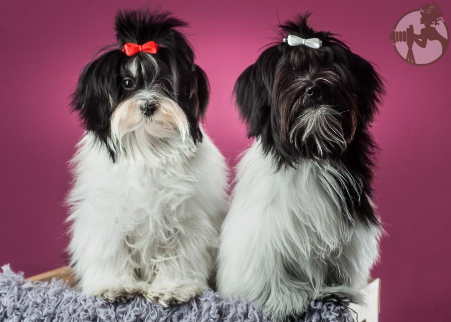 Den-Havanese-Dog-Melissa-Laggis-1.jpg