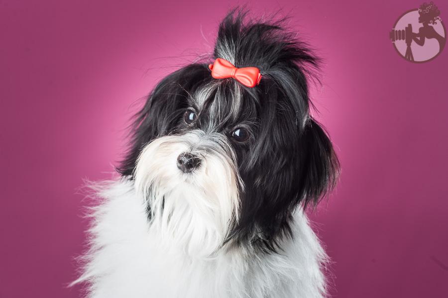 Den-Havanese-Dog-Melissa-Laggis-4.jpg