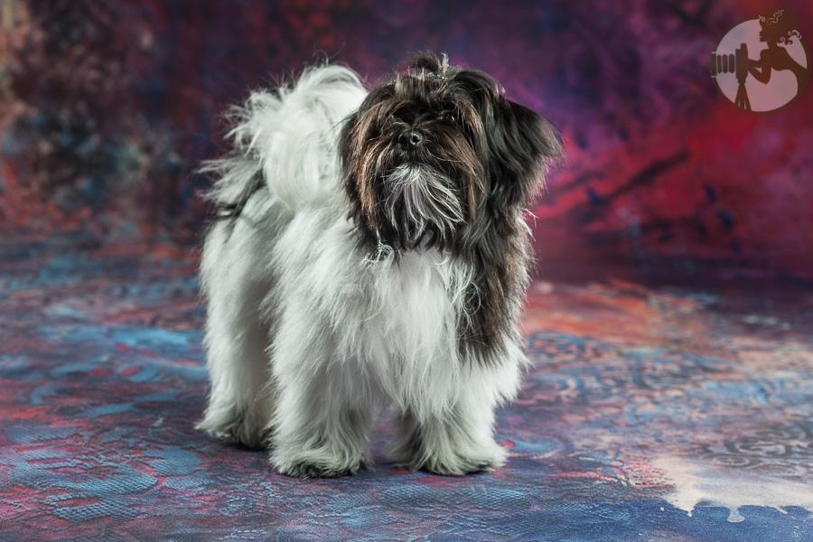Den-Havanese-Dog-Melissa-Laggis-3.jpg