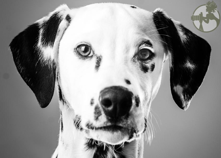 Dalmation-Dog-Melissa-Laggis-1.jpg