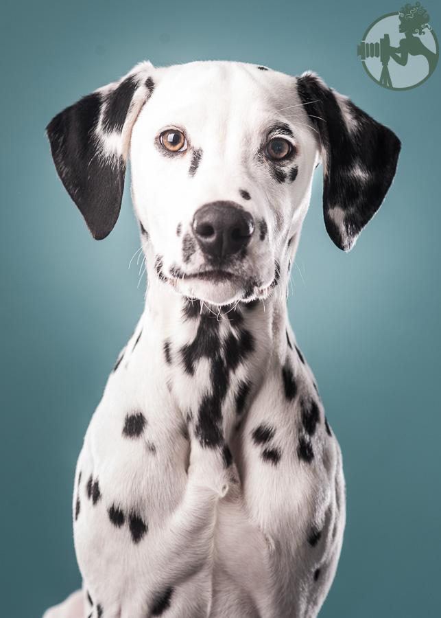 Dalmation-Dog-Melissa-Laggis-2.jpg