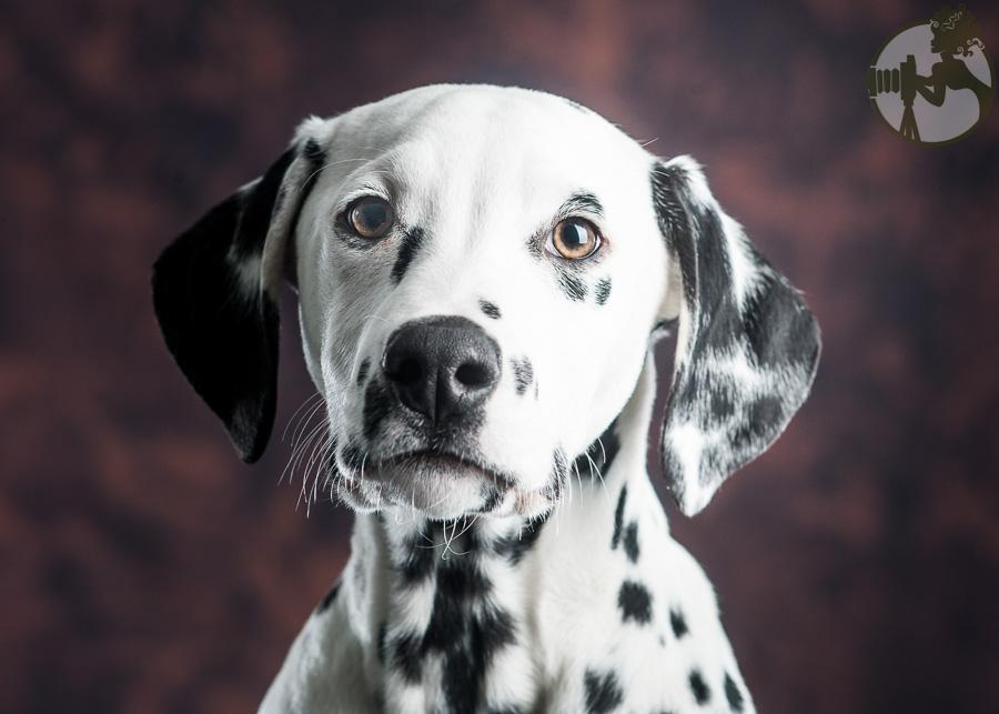 Dalmation-Dog-Melissa-Laggis-3.jpg