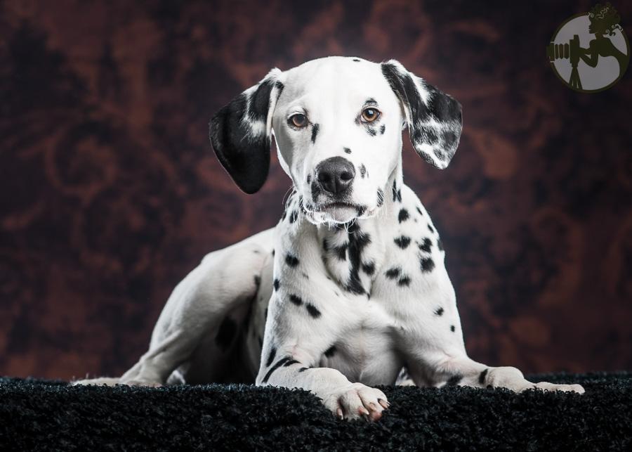 Dalmation-Dog-Melissa-Laggis-4.jpg