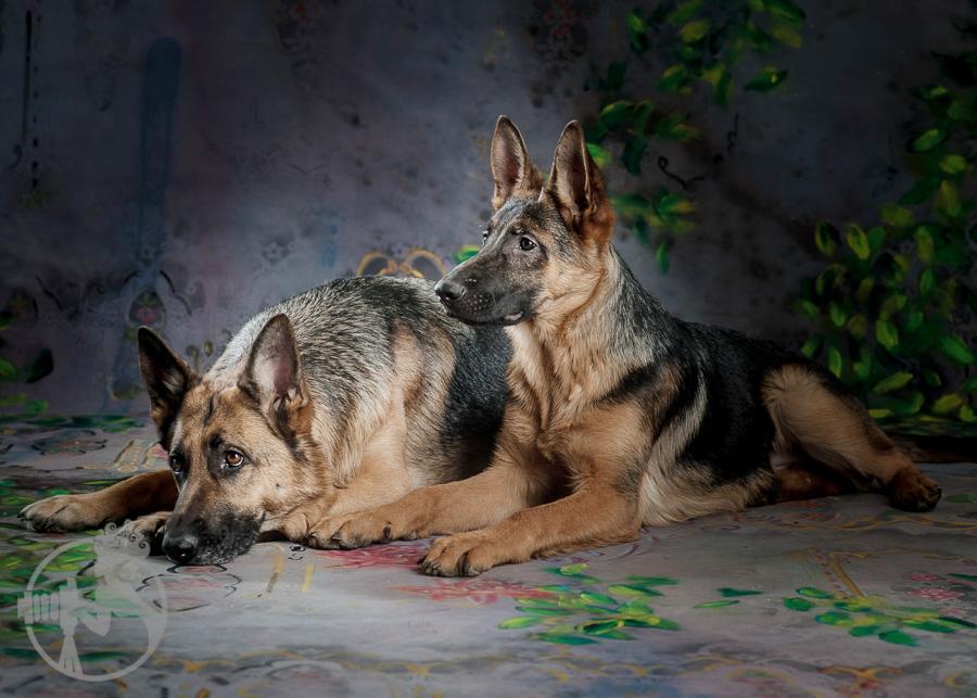 German-Shepherd-Dog-Melissa-Laggis-2.jpg